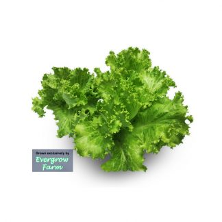 Jual Selada Keriting Korea Hidroponik dan tanpa pestisida - Korean Lettuce - Hydroponically grown, pesticide-free - Agoraku.com